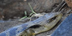Blue Tongue Lizard in Rocks