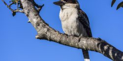Kookaburra sitting in a tree at Bradleys Head, Mosman.