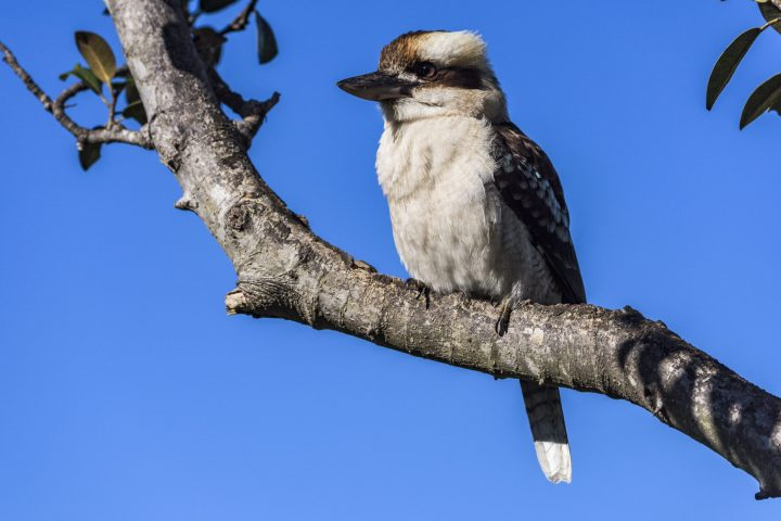 Kookaburra in tree